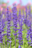 Lavender growing in garden Royalty Free Stock Images