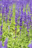 Lavender growing in garden Royalty Free Stock Photos