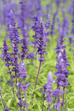 Lavender growing in garden Royalty Free Stock Image