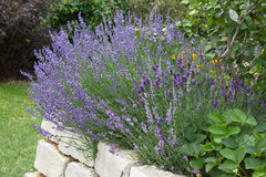 Lavender growing in garden. Outside Stock Image