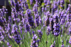 Lavender growing in a garden. Lavender growing on a sunny day in a lovely garden Stock Photos