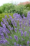 Lavender growing in landscaped garden Stock Photography