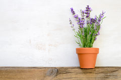 Lavender growing in a pot. Space for a text Stock Images