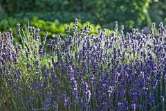 Lavender in the garden. Lavender grown in the garden in the early evening sunshine Stock Image