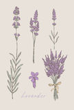 Lavender hand drawn set. Lavender hand drawn color set Royalty Free Stock Photo