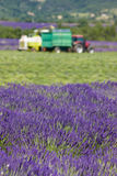 Lavender harvest Stock Photo