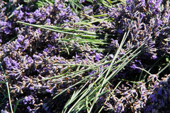 Lavender harvest Royalty Free Stock Photos