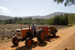 Lavender harvest for essential oil production Stock Images