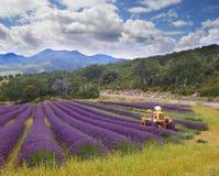Lavender harvest, France Royalty Free Stock Image