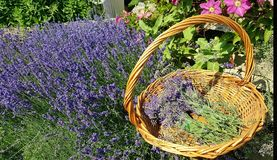 Lavender Harvest. Fresh cut lavender, Idaho Stock Photography