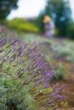 Lavender Harvest on Hillside Stock Photos