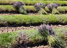 Lavender harvest Stock Photo