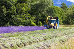 Lavender harvest Royalty Free Stock Images