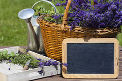 Lavender harvest time Royalty Free Stock Photography