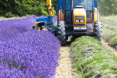 Lavender harvestin Royalty Free Stock Photography
