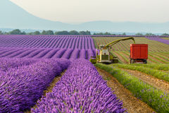 Lavender harvesting, Provence Stock Photos