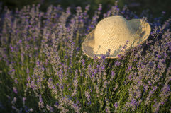 Lavender in a hat Royalty Free Stock Photos