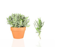 Lavender Herb Royalty Free Stock Photo