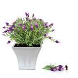 Lavender Herb and Bumblebee. Lavender herb plant in a pewter pot with flower and leaf sprig and bumblebee, over white background royalty free stock image