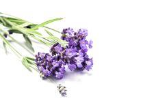 Lavender herb flower closeup white background. Lavender herb flower closeup isolated on white background royalty free stock image