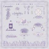 Lavender, herb, flower, floral vintage, vector illustration