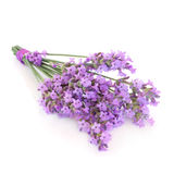 Lavender Herb Flower Posy. Isolated over white background. Lavandula angustifolia munstead Stock Images