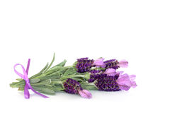 Lavender Herb Flowers. Over white background royalty free stock images