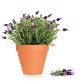 Lavender Herb Flowers stock photo
