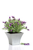Lavender Herb Flowers. Lavender herb plant in flower in a distressed pewter pot with a flower leaf sprig , over white background royalty free stock photos