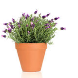 Lavender Herb Plant. In flower growing in a terracotta pot, over white background stock photography