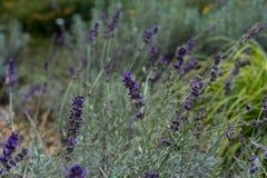 Lavender herb plant lavandula angustifolia lamiaceae from europe in garden royalty free stock image