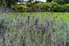 Lavender herb plant lavandula angustifolia lamiaceae from europe in garden stock image
