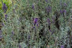 Lavender herb plant lavandula angustifolia lamiaceae from europe in garden stock photos