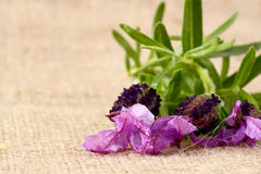 Lavender hessian 4 Royalty Free Stock Images
