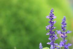 Lavender in Hokkaido Stock Photo