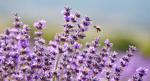Lavender and honey bee Royalty Free Stock Images