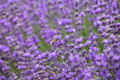 Lavender and honey bee Stock Photos