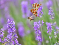Lavender, honey bee and and mating butterflies Stock Photography