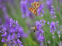 Lavender, honey bee and and mating butterflies Stock Images