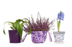 Lavender, Hyacinth and Cattleya Orchid in pots Royalty Free Stock Image