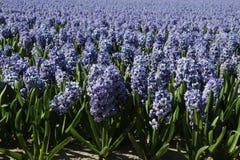 Lavender hyacinth field. Field of lavender Hyacinth flowers in full bloom.  Genus:  Hyacinthus Stock Photography