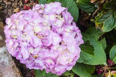 Lavender Hydrangea in Full Bloom in the Garden Stock Photo