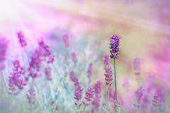 Lavender illuminated by sunlight Royalty Free Stock Photo