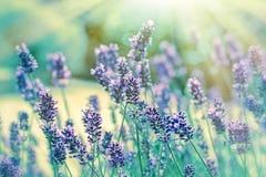 Lavender illuminated by sunlight stock photos