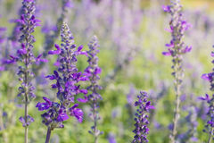 Lavender. Image of beautiful bright violet lavender flowers for nature background Stock Image