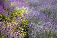 Lavender  before and after the image editing process Stock Image