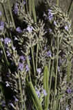 Lavender. Image of lavender flowers and stems drying Stock Images