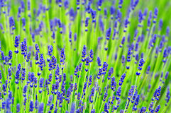 Lavender In Summer Time Stock Photos