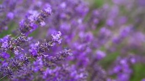 Lavender ina field stock video footage