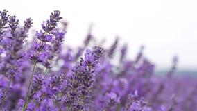 Lavender ina field stock video